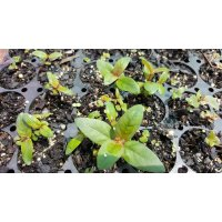 Narrow Leaf Peppermint (Radiata) Eucalyptus Seedlings